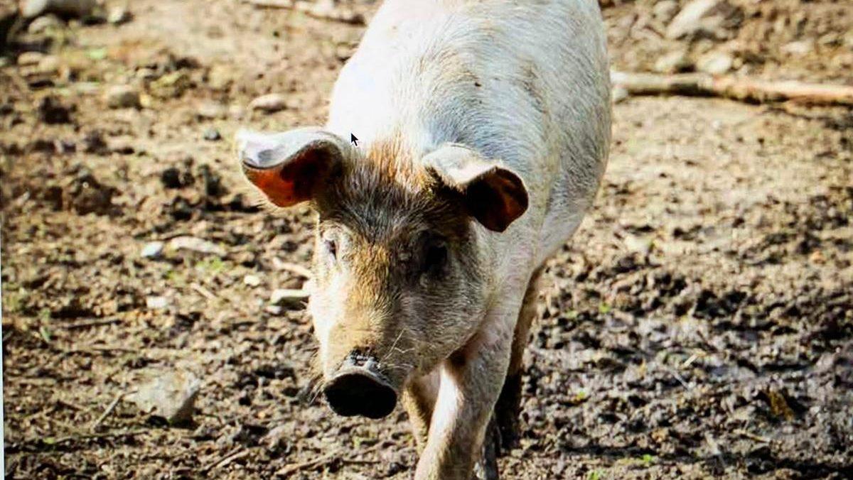 Das Märkische Kartoffelschwein